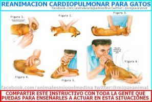 reanimacion cardiopulmonar gatos